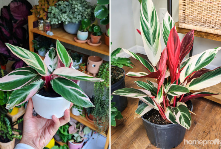 Is Triostar Stromanthe Poisonous to Pets?
