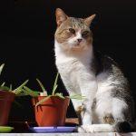 Can cats eat aloe vera?