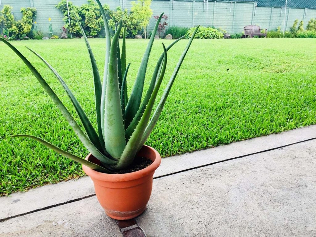 How Often Should You Water Aloe Vera Plant?