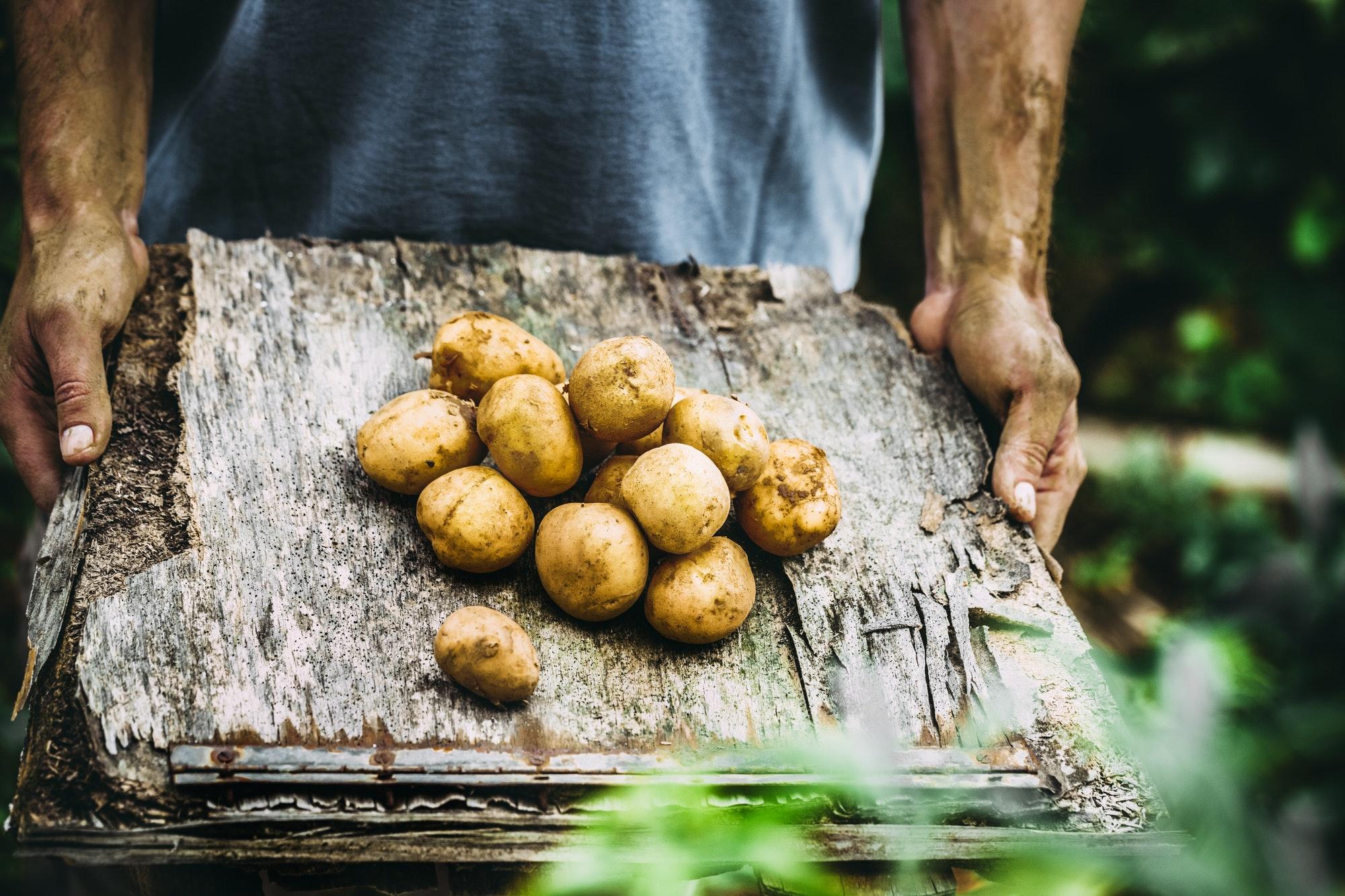 sweet potatoes in the garden