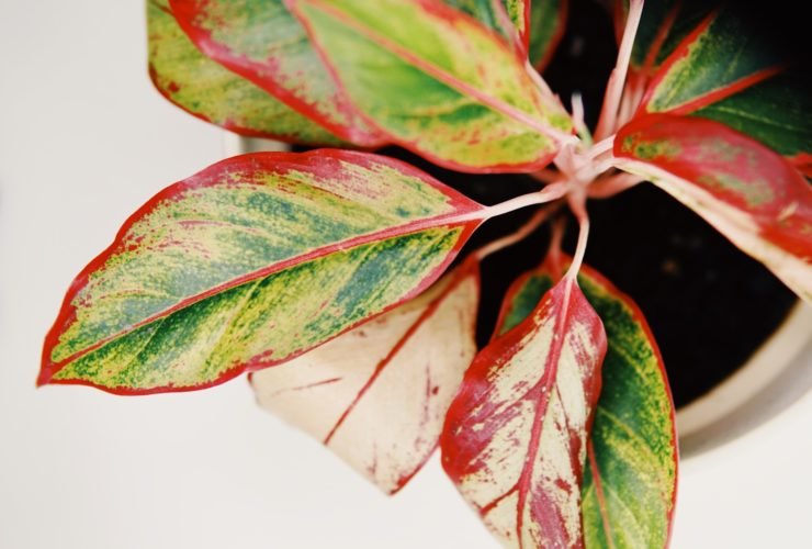 Chinese Evergreen Yellow Plant Problem