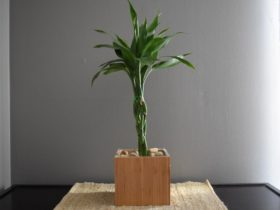 How to Fix Money Tree Plant Turning Yellow